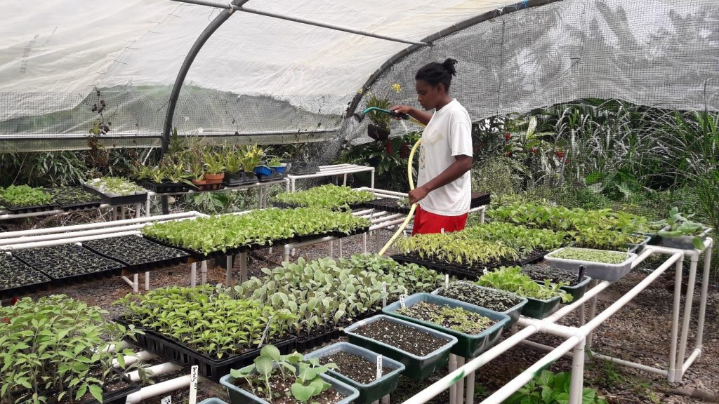 Image 3: A young farmer waters seedlings in her greenhouse. Seedling production is a crucial link in local value chains in Dominica because abundant rainfall often inhibits direct sowing of vegetable seeds. 2018. Photo: Samantha King.